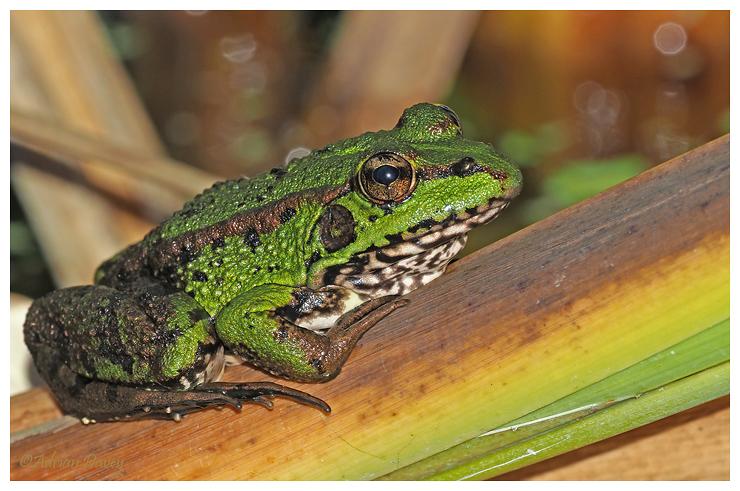 Iberian Marsh Frog