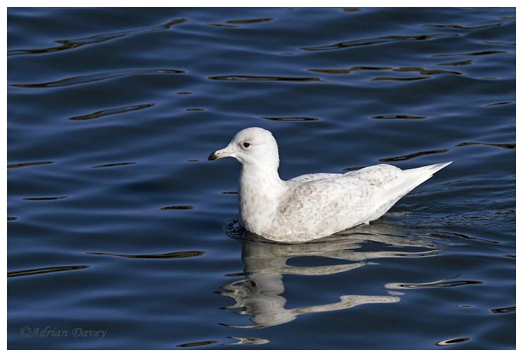 Iceland Gull juvenile