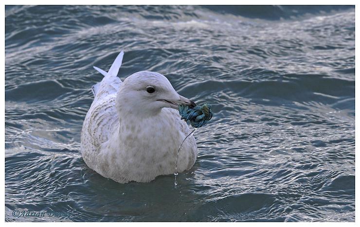 Iceland Gull, Juvenile.