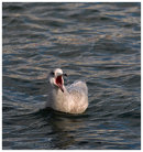 Iceland Gull, Juvenile