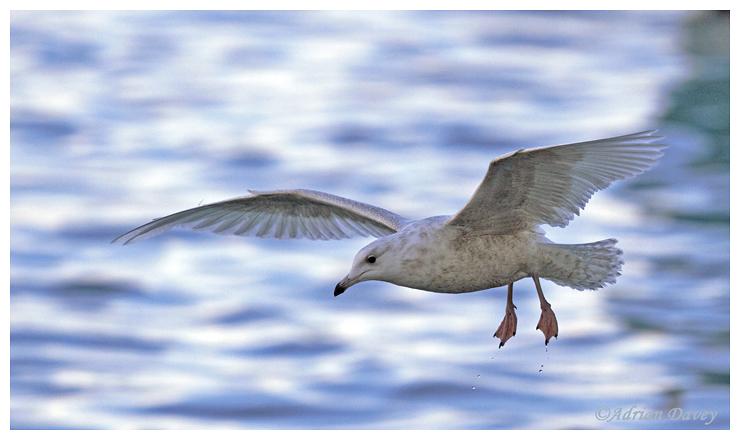 Iceland Gull, juvenile in flight