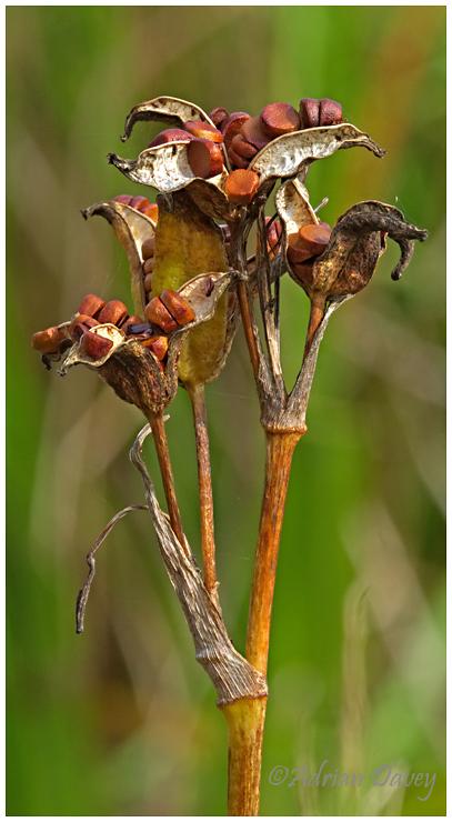 Yellow Flag Iris seeds.