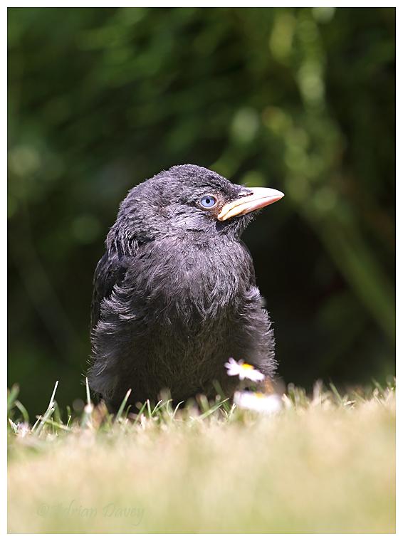 Young Jackdaw (Corvus monedula )