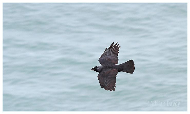 Jackdaw in flight over the sea