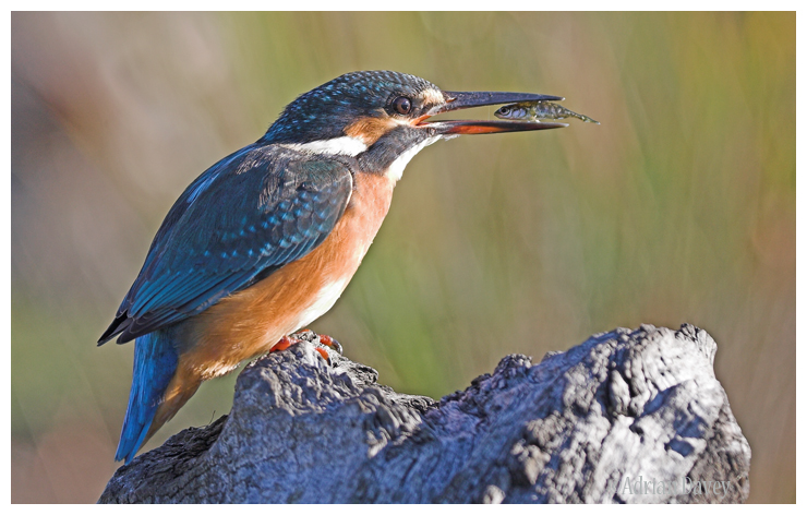 Kingfisher with stickleback