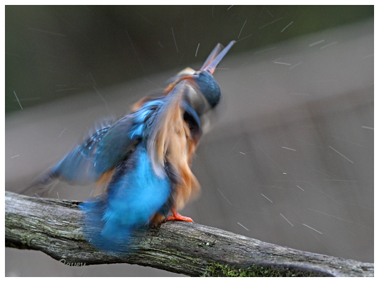 Kingfisher shake