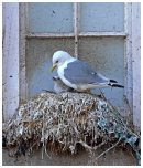Kittiwake nesting on window sill.