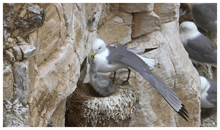 Kittiwake at nest on cliffs