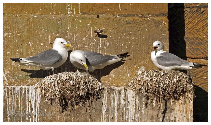 Kittiwakes nesting on bridge