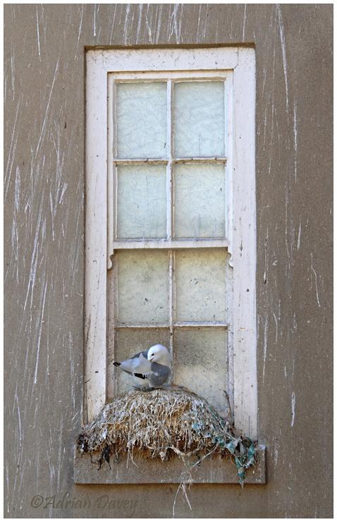 Kittiwake nesting on window sill 2