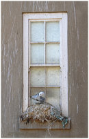 Kittiwake nesting on window sill 2