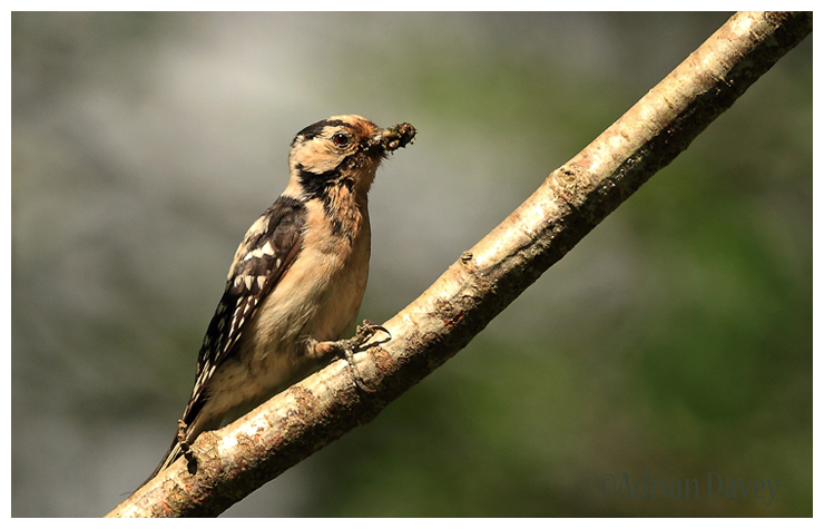 Lesser Spotted Woodpecker-female