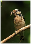 Lesser Spotted Woodpecker-female with food