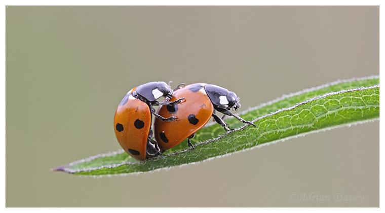 Mating 7 Spot Ladybirds.