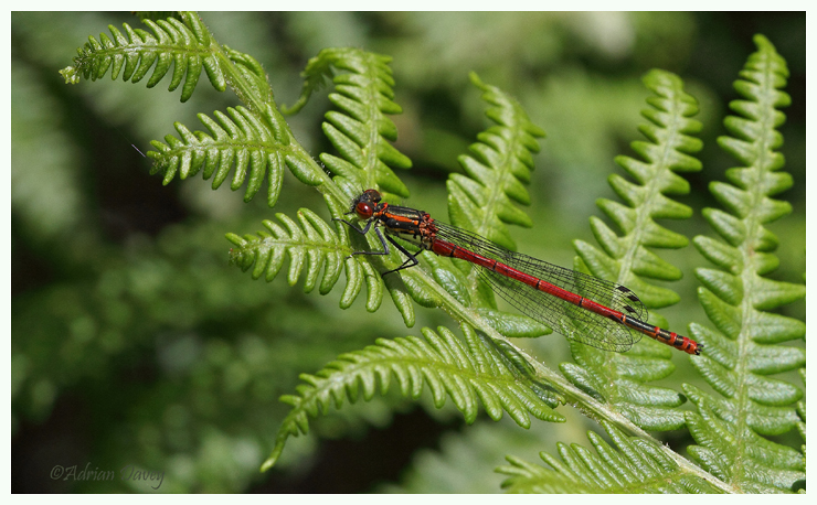 Large Red Damselfly.