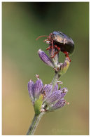 Leaf Beetle on Lavender