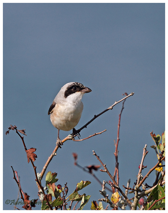 Lesser Grey Shrike.
