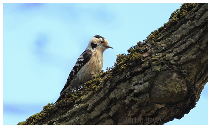 Lesser Spotted Woodpecker (female).