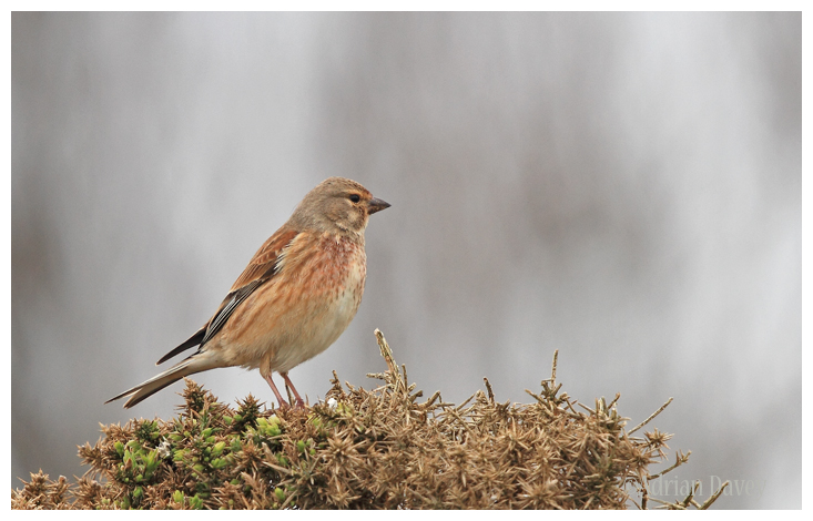 Linnet male
