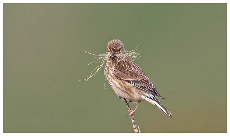 Linnet with nest material 2