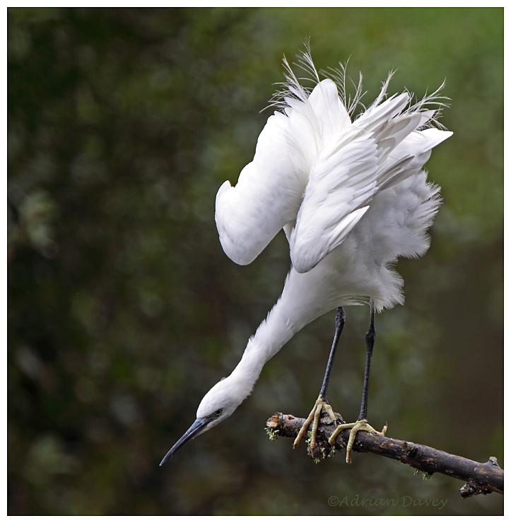 Little Egret preening 2