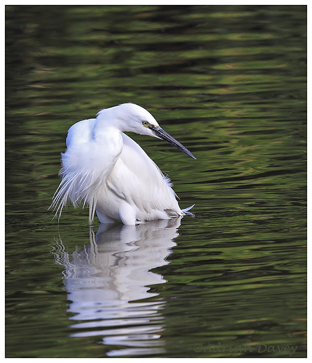 Little Egret on the lookout.