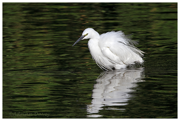 Little Egret on the lookout.2
