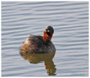 Little Grebe looking skywards