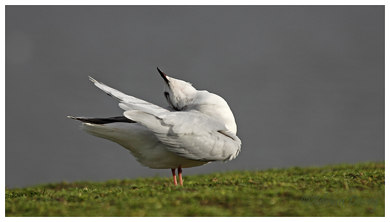 Little Gull preening 2