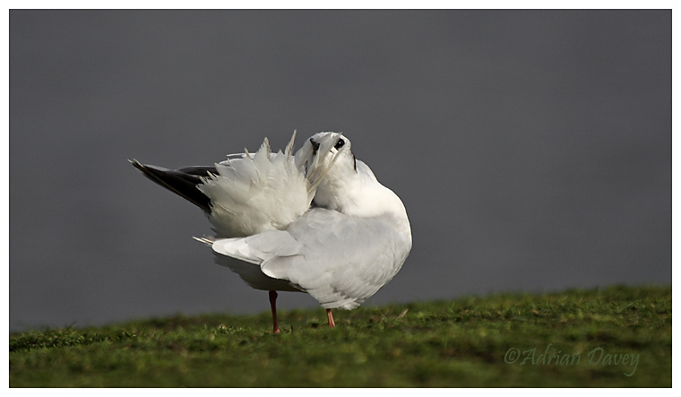 Little Gull preening 1