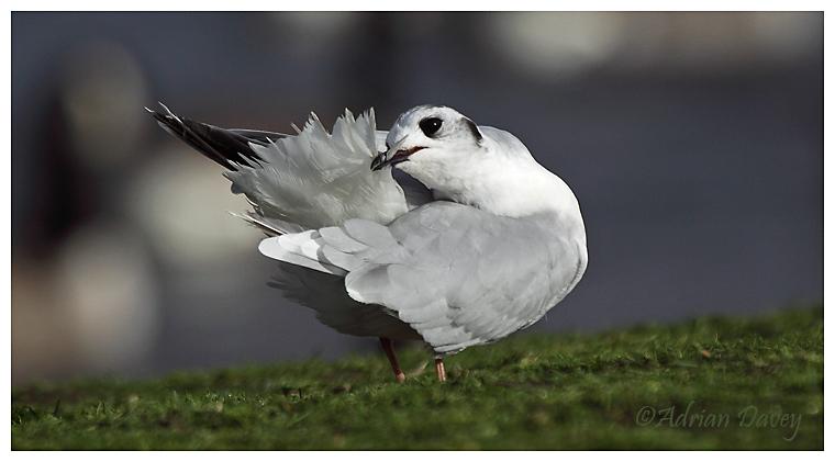 Little Gull preening 4