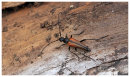 Long Horned Beetle sp