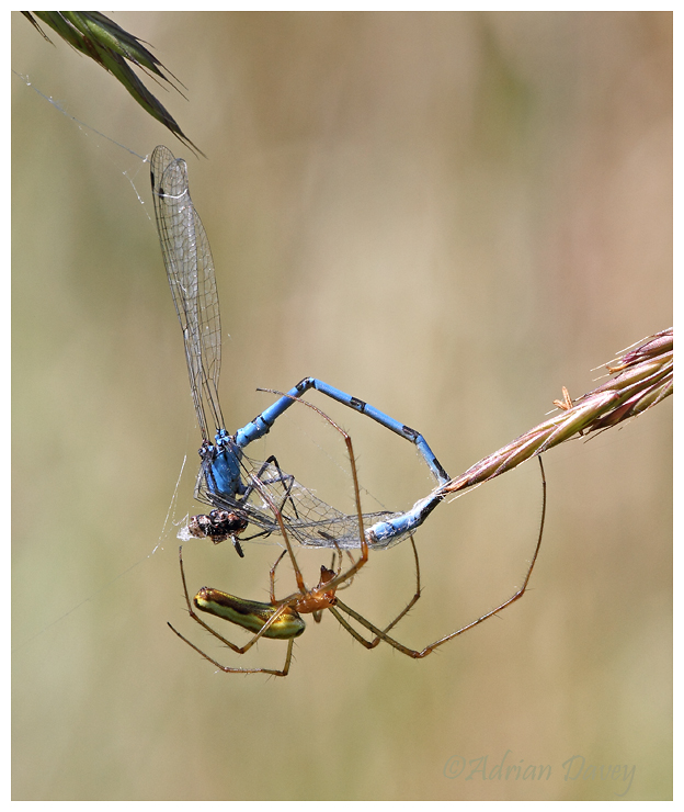 Long Jawed Orb Weaver Spider with Damselfly Prey