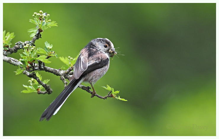 Long Tailed Tit with food for young