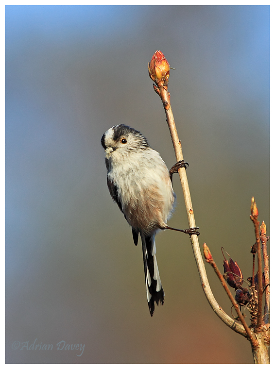 Long Tailed Tit with lichen for nest building