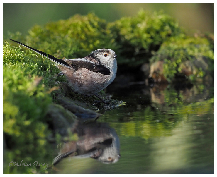 Long Tailed Tit taking a drink