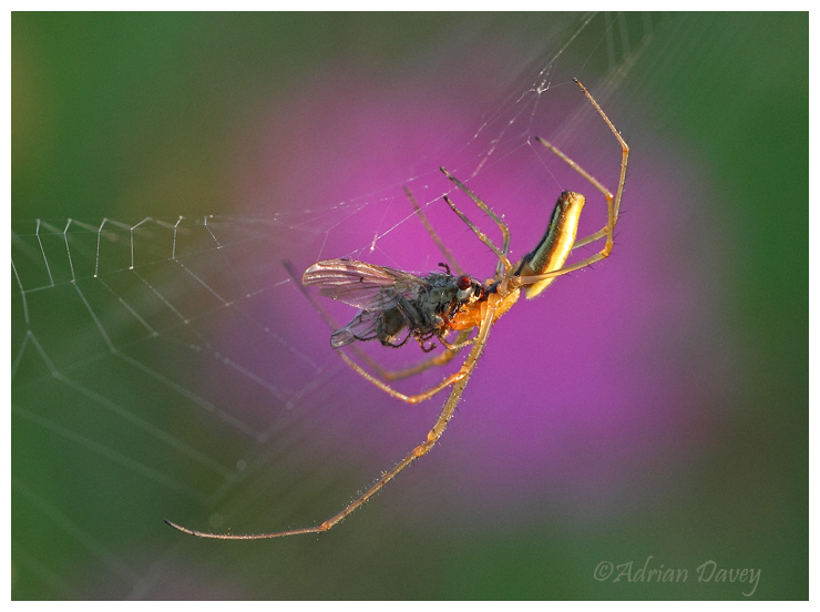 Long Jawed Orb Weaver 5
