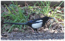 Magpie with Slow worm
