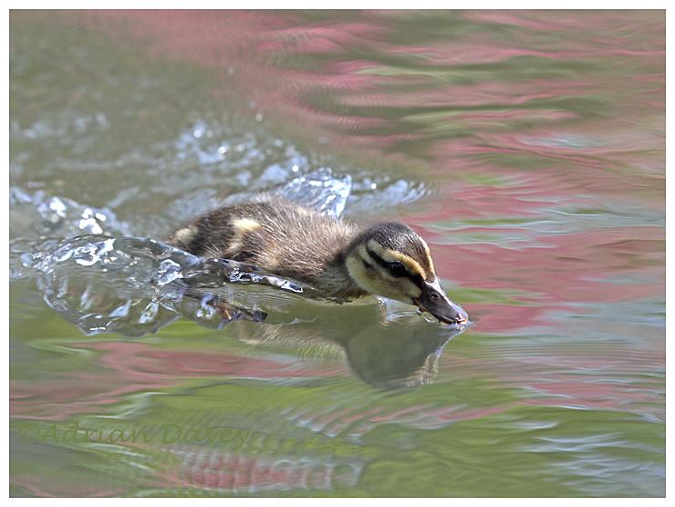 Mallard Duckling 2