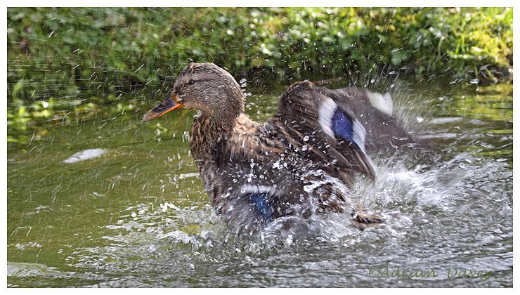 Female Mallard bathing