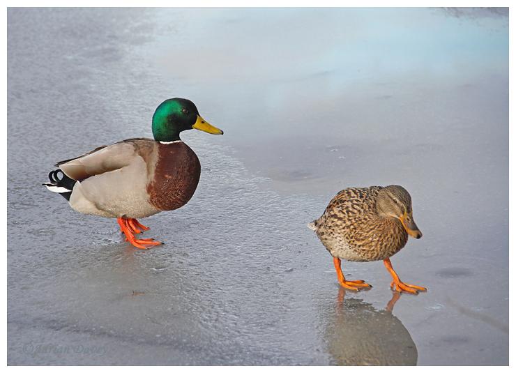 Mallards on Ice