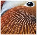 Mandarin male close up.
