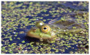 Marsh Frog ( Pelophylax ridibundus )