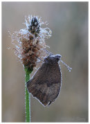 Meadow Brown with early morning dew