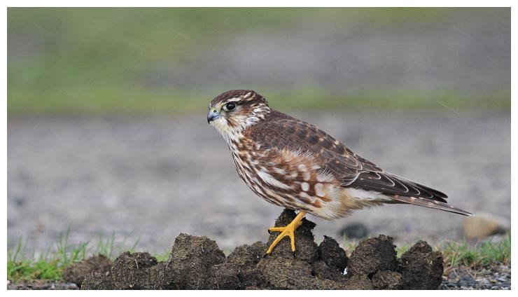 Merlin Female