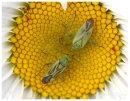 Mirid Bugs