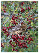 Mistle Thrush feeding on Hawthorn Berries