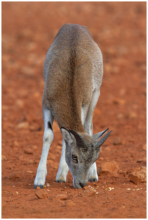Mouflon youngster