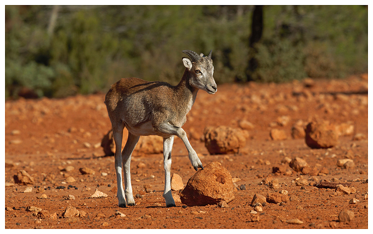 Mouflon young