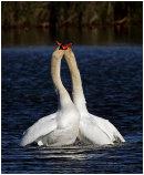 Mute Swan courtship 4
